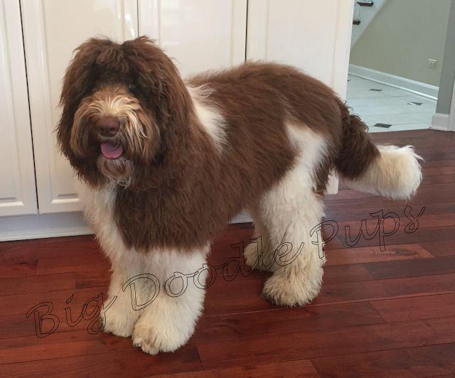 Big Doodle Pups